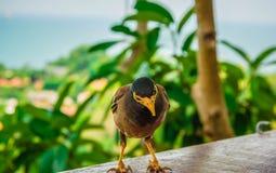 Mynavogel status Gemeenschappelijke myna, Indische myna, Mynah (Acridothere royalty-vrije stock foto's