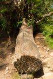Mynta trädet på Tarn Hows nationalparken England UK för området för sjön Royaltyfri Fotografi