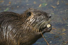 Myocastor coypus Stock Photos