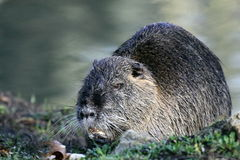 Myocastor coypus - coypu Stock Photography
