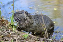 Myocastor coypus is a large herbivorous semiaquatic rodent, small hairy beast on river bank eating green plant royalty free stock photos