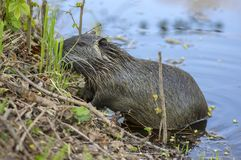 Myocastor coypus is a large herbivorous semiaquatic rodent, small hairy beast on river bank eating green plant stock image