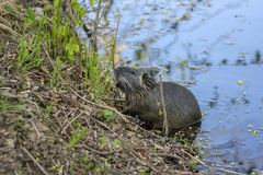 Myocastor coypus is a large herbivorous semiaquatic rodent, small hairy beast on river bank eating green plant stock images