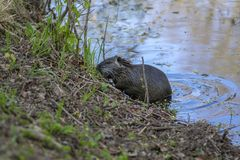 Myocastor coypus is a large herbivorous semiaquatic rodent, small hairy beast on river bank eating green plant. Funny single animal stock photos