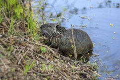Myocastor coypus is a large herbivorous semiaquatic rodent, small hairy beast on river bank eating green plant. Funny single animal stock photo