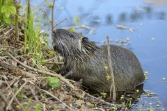 Myocastor coypus is a large herbivorous semiaquatic rodent, small hairy beast on river bank eating green plant. Funny single animal royalty free stock images