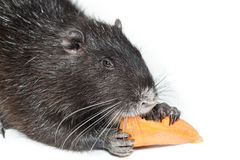 Myocastor coypus, Nutria Stock Photos