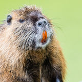 Myocastor coypus, single mammal. In it's natural habitat - selective focus royalty free stock images