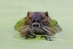 Myocastor coypus, single mammal. In it's natural habitat - selective focus Royalty Free Stock Photo