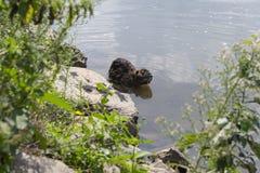 Myocastorcoypus är en stor växtätande semiaquatic gnagare, liten hårig fäsimning i floden royaltyfri foto