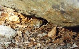 Myodes glareolus. The mouse & x28;Myodes glareolus, synonym Clethrionomys glareolus& x29;, also referred to as the forest mouse mite, the red mouse, the red Royalty Free Stock Photo