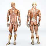 Myofascial trigger points, are hyperirritable spots in the fascia surrounding skeletal muscle. Front and back view of a man. Myofascial trigger points, also Royalty Free Stock Photography