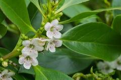 Myoporum laetum; Ngaio Tree native to New Zealand and considered invasive in California stock photo