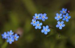 Myosotis από την οικογένεια μποράγκων (Boraginaceae) Στοκ Εικόνες