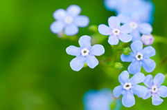 Myosotis. Blue flowers on green Stock Photos