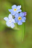 Myosotis Alpestris niezapominajka Stock Photo