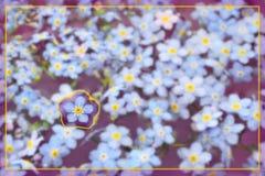 Myosotis avec la frontière Photographie stock libre de droits