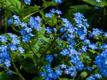 Myosotis, błękitów kwiaty obraz stock