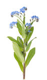 Myosotis Royalty Free Stock Photography