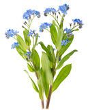 Myosotis Stock Photography