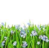 Myosotis blüht in grünes Gras/getrennt Stockfotos