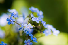 Myosotis Stock Photo