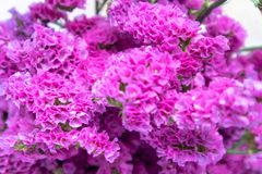 Myosotis cięcia świezi kwiaty Obraz Stock
