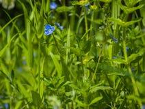 Myosotis dans l'herbe de vert forêt Photos stock