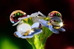 Myosotis dans les gouttes de pluie Image stock