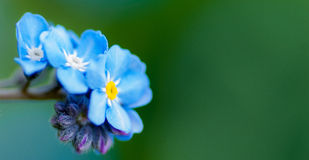 Myosotis de champ Images stock