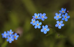 Myosotis de famille de bourrache (Boraginaceae) Images stock