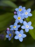 Myosotis des marais Photo stock