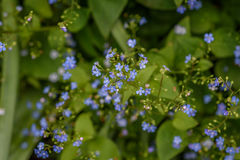 Myosotis des marais avec printemps Photo stock