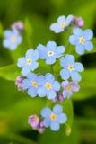 Myosotis des marais bleu Image libre de droits