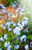 Myosotis des marais bleus dans la fin de jardin  photographie stock libre de droits