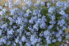 Myosotis des marais fleurissants Fleurit des myosotis des marais Photo stock