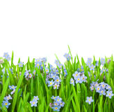 Myosotis Flowers into Green Grass / Isolated Stock Photos
