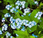 Myosotis. Forget-me-not Royalty Free Stock Photos