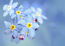 Forget-me-not flower over blue Royalty Free Stock Photography