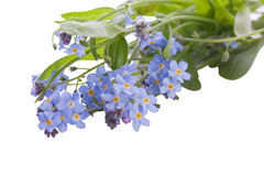 Myosotis forget me not flower with green leaf Stock Photo