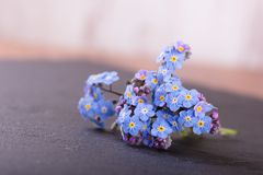 Myosotis forget-me-not flower placed on slate stone Royalty Free Stock Photos