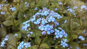 Myosotis (Forget-Me-Not or Scorpion Grass) Plants Blossoming in Spring at Battery Park in Manhattan, New York, NY. Royalty Free Stock Photography