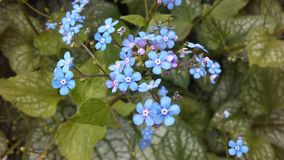 Myosotis (Forget-Me-Not or Scorpion Grass) Plants Blossoming in Spring at Battery Park in Manhattan, New York, NY. Myosotis (Forget-Me-Not or Stock Photo