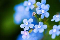 Myosotis Royalty Free Stock Image