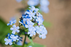 Myosotis Royalty Free Stock Photo