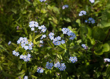 Myosotis. Forget me nots Royalty Free Stock Photo