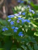 Myosotis lumineux de fleurs Images stock