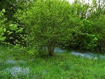 Myosotis na zielonej łące fotografia royalty free