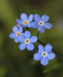 Myosotis od borage rodziny (Boraginaceae) Zdjęcia Royalty Free