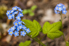 Myosotis secunda Stock Photo